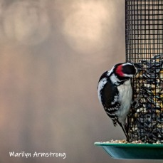 300-square-hairy-woodpecker-03122019_115