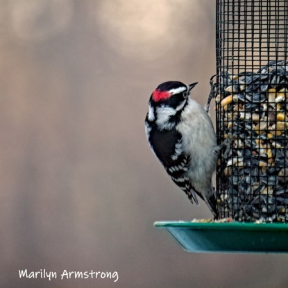300-square-hairy-woodpecker-03122019_117