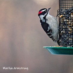 300-square-hairy-woodpecker-03122019_120