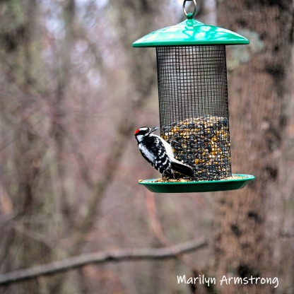 Hairy Woodpecker dines alone