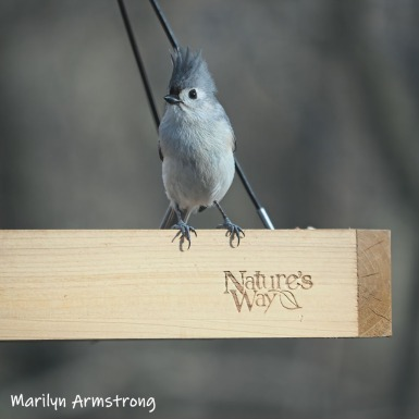 300-square-little-blue-jay-03302019_002