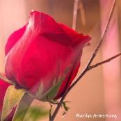 300-square-no-reason-roses-03232019_026