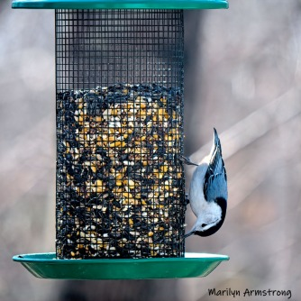 300-square-nuthatch-birds-03272019_206