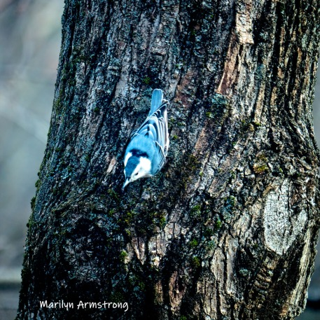 300-square-nuthatch-on-a-tree-03282019_304