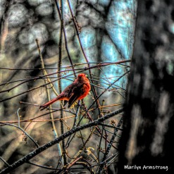 300-square-poky-pointy-spiky-cardinal-in-the-woods-03012019_104