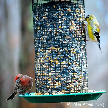 More bright finches