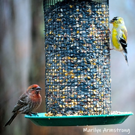 Red and yellow finches