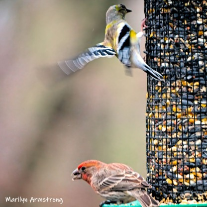 A yellow finch in flight and a waiting red finch