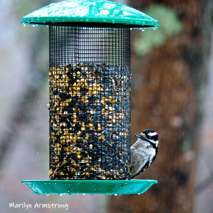 300-square-woodpecker-second-sunday-birds-03102019_020