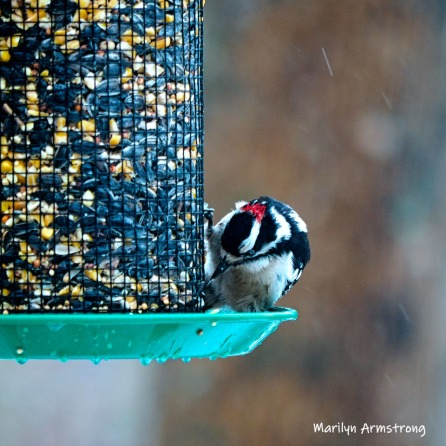 300-square-woodpecker-second-sunday-birds-03102019_028