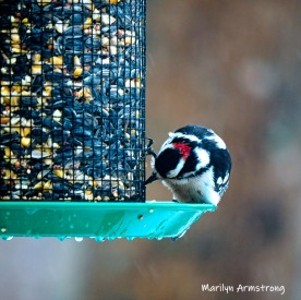300-square-woodpecker-second-sunday-birds-03102019_032