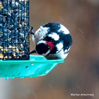 300-square-woodpecker-second-sunday-birds-03102019_033