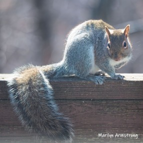 A very commond squirrel!