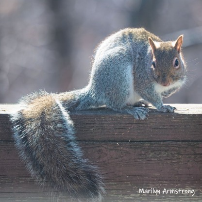 300-square-young-squirrel-03272019_105