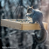 300-square-young-squirrel-03272019_132