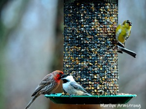 Two finches and a chickadee