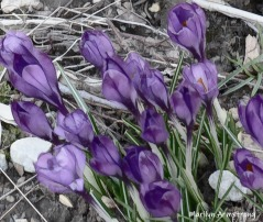 180-Purple-Crocus-Very Early Garden-04012019_005
