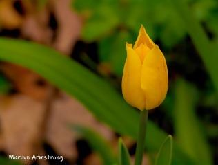 180-Tulip-Flowers-04252019_134