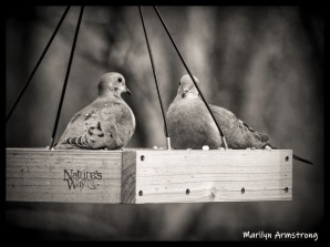 Two chubby Doves