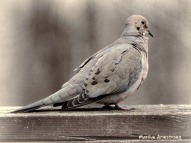 300-bw-mourning-dove-rail-04122019_042