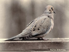 300-bw-mourning-dove-rail-04122019_042