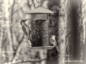 Red-bellied Woodpecker and a Tufted Titmouse
