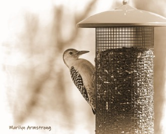 00-bw-sepia-red-bellied-woodpecker-04162019_011