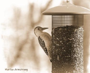 00-bw-sepia-red-bellied-woodpecker-04162019_011
