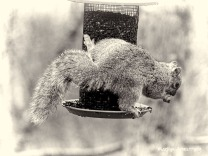 300-bw-side-hanging-squirrel-03312019_134