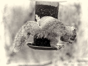 The strange side of an Eastern Gray Squirrel