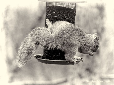 300-bw-side-hanging-squirrel-03312019_134