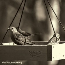 Cowbirds and a House Finch