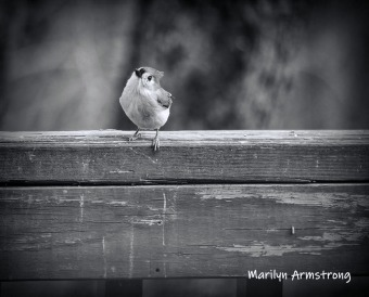 300-bw-tufted-titmouse-more-birds-04022019_319