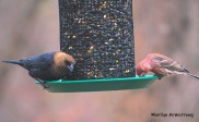 300-cowbird-and-house-finch-04122019_012