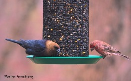 300-cowbird-and-house-finch-04122019_013