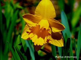 300-daffodils-04162019_002