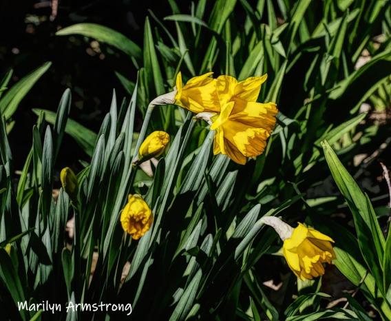 300-daffodils-04162019_008