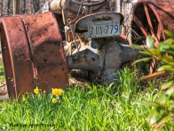 300-Tractor-Daffodils-04162019_016