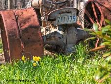300-Tractor-Daffodils-04162019_016