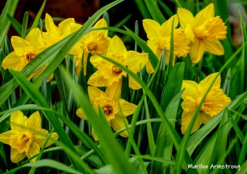 More yellow daffodils