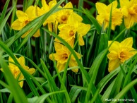 300-Daffodils-Flowers-04252019_137-sharpen