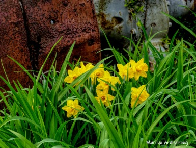 300-Daffodils-Tractor-Flowers-04252019_135-sharpen