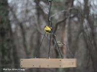 300-goldfinch-flock-04092019_003