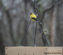 300-goldfinch-flock-04092019_004