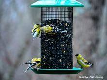 Common Goldfinches - Five which is