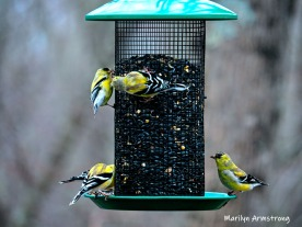 Common Goldfinches