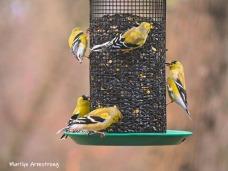 Flocks of Goldfinch