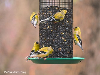 Flocks of Goldfinch