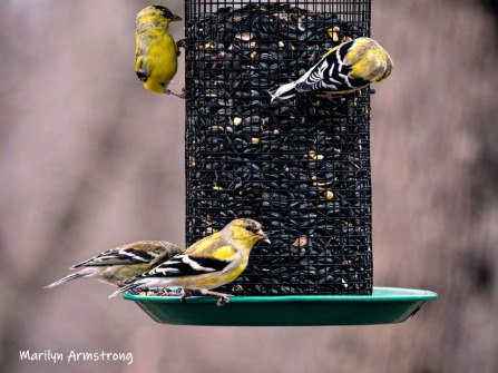 More bright Goldfinch