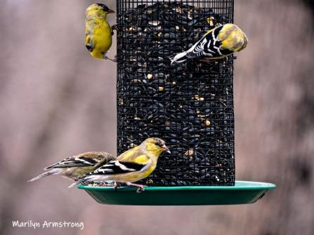 300-goldfinch-flock-04122019_055